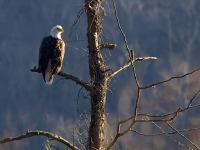 Bald Eagles In The Neighborhood