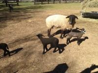 Rambunctious Lambs!